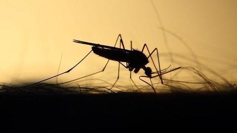 Mosquitoes Can Sense Toxins Through Their Legs