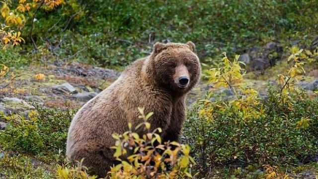 Why Don't Bears' Muscles Wither During Hibernation?