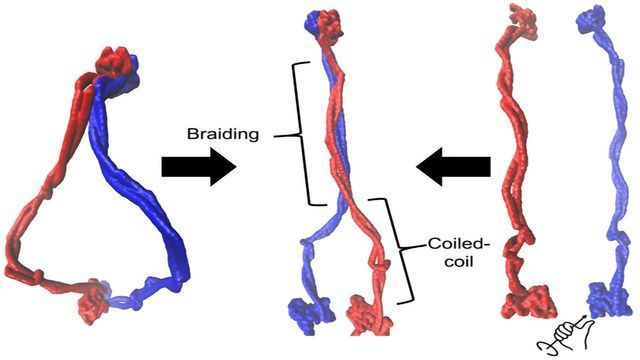 Proteins Writhe Like Snakes As They Wrangle DNA Into Shape