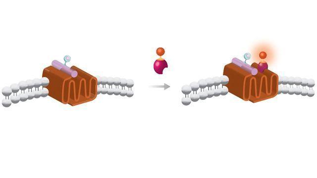 Ligand-Receptor Binding Kinetics on the PHERAstar® Microplate Reader