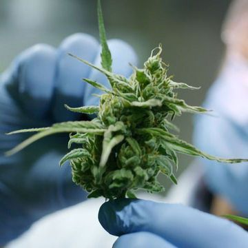 Exploring the Medicinal Benefits of Cannabis Within UK Pharmaceuticals