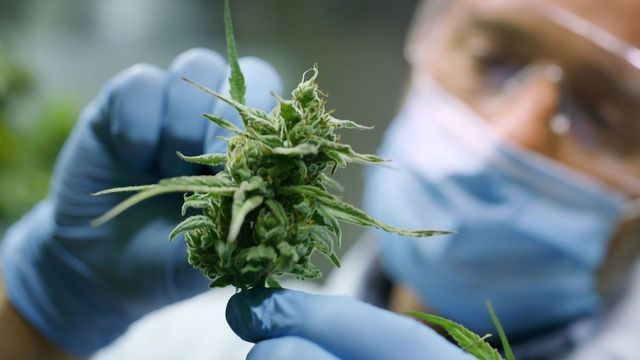 Exploring the Medicinal Benefits of Cannabis Within UK Pharmaceuticals    Technology Networks