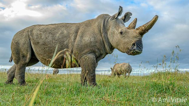 Newly Created Embryo Nourishes Hope for Northern White Rhino Survival