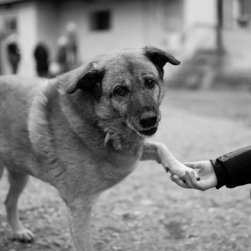 Stray Dogs Understand Human Gestures Without Prior Training