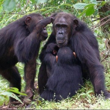 Powerful Chimp Moms More Likely To Have Homebody Daughters