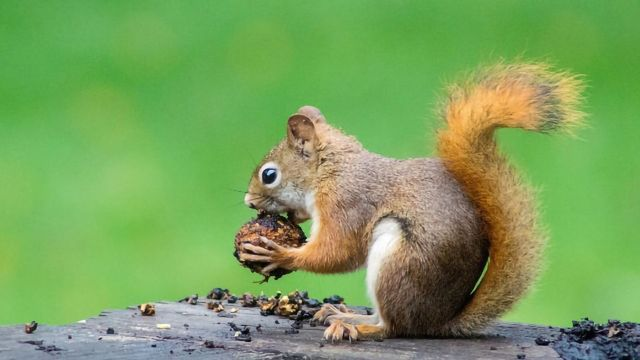 Ambidextrous Squirrels Perform Best in Learning Tasks