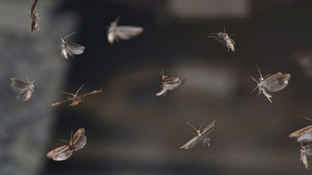 World First: Genetically Engineered Moth Is Released Into an Open Field