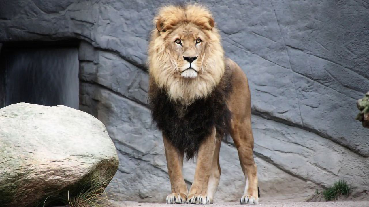 Digital Camera Records a Lion's Heart Rate From 40 Meters