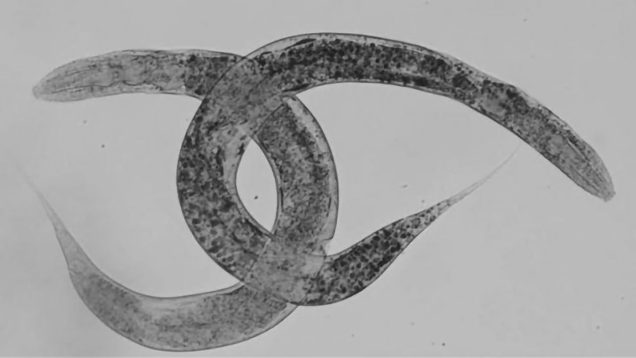 New Worm Model To Progress Study of Rare Disease