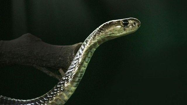 Engineering Antibodies Against Animal Venom Toxins