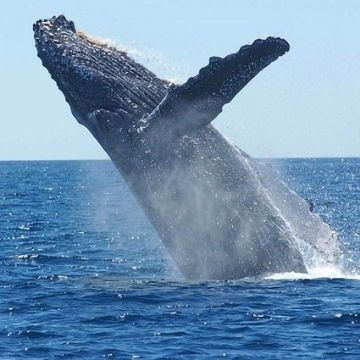 Improving Pregnancy Predictions for Whales