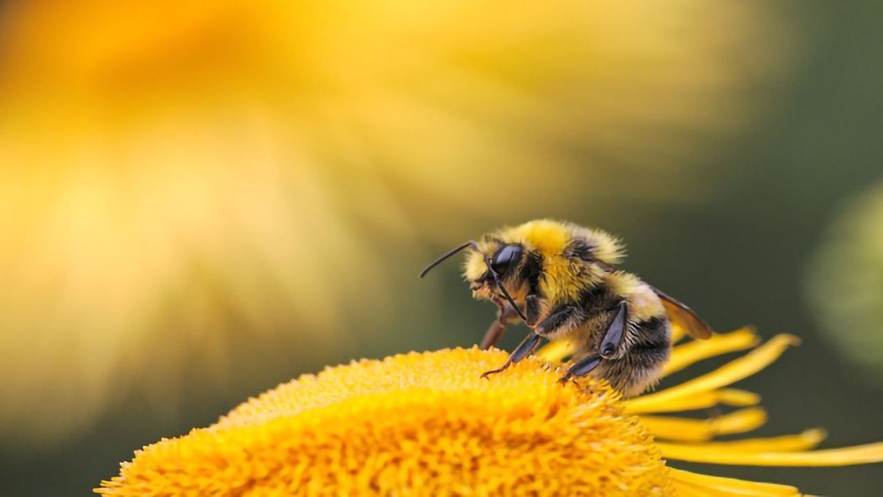 Genetically Engineered Bacteria Protect Honey Bees Against Parasites