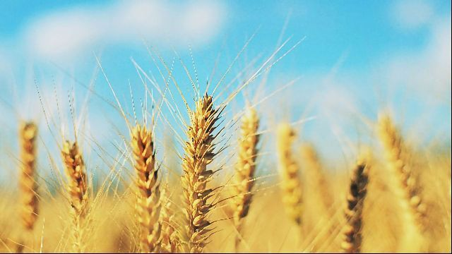 Toxins Identified in Cereal Crops With Rapid Test