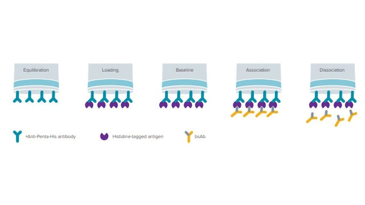 A Rapid Method to Quantitatively Screen Bispecific Antibody Using Protein A and His1K Biosensors