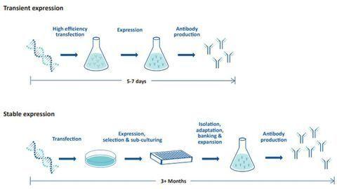 6 Steps for Optimizing Recombinant Antibody Expression