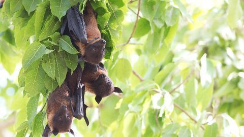 Bats May Be Developing Resistance to Devastating Fungal Disease