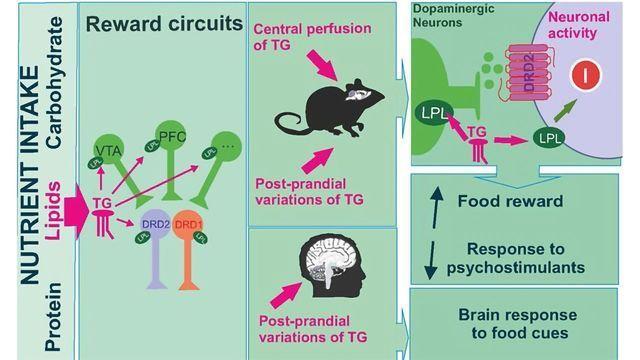 Triglycerides Found To Control Reward Neurons
