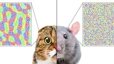 Single Ratio Predicts the Organization of the Mammalian Visual Cortex