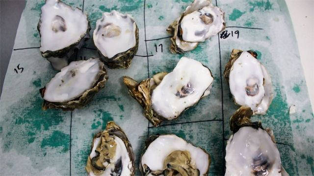 Oysters' Pearls of Wisdom to Next Generation Hindered by Ocean Acidification