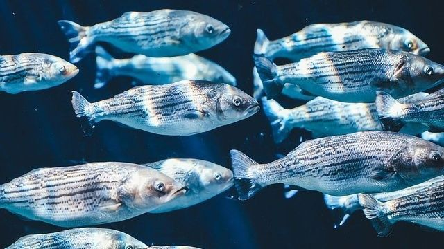 Microplastics Cause Endocrine Disruption and Respiratory Damage in Fish