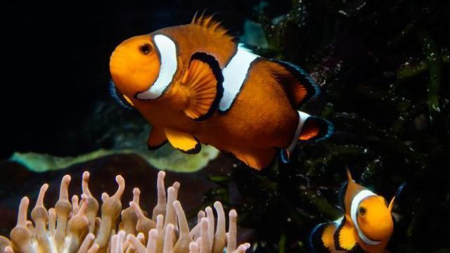 Finding Nemo Explained by Clownfish Hormones