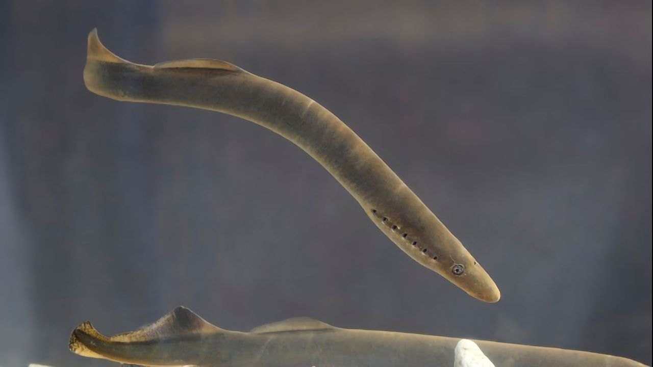Lamprey Study Reveals the Early Evolution of the Cortex