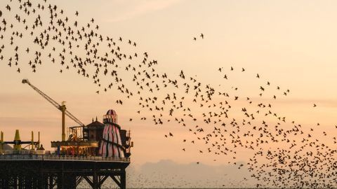 Starlings Sleep Differently During Summer and Full Moons