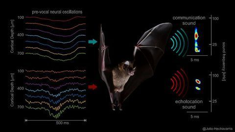 New Insights to How the Brain Controls the Voice of Bats
