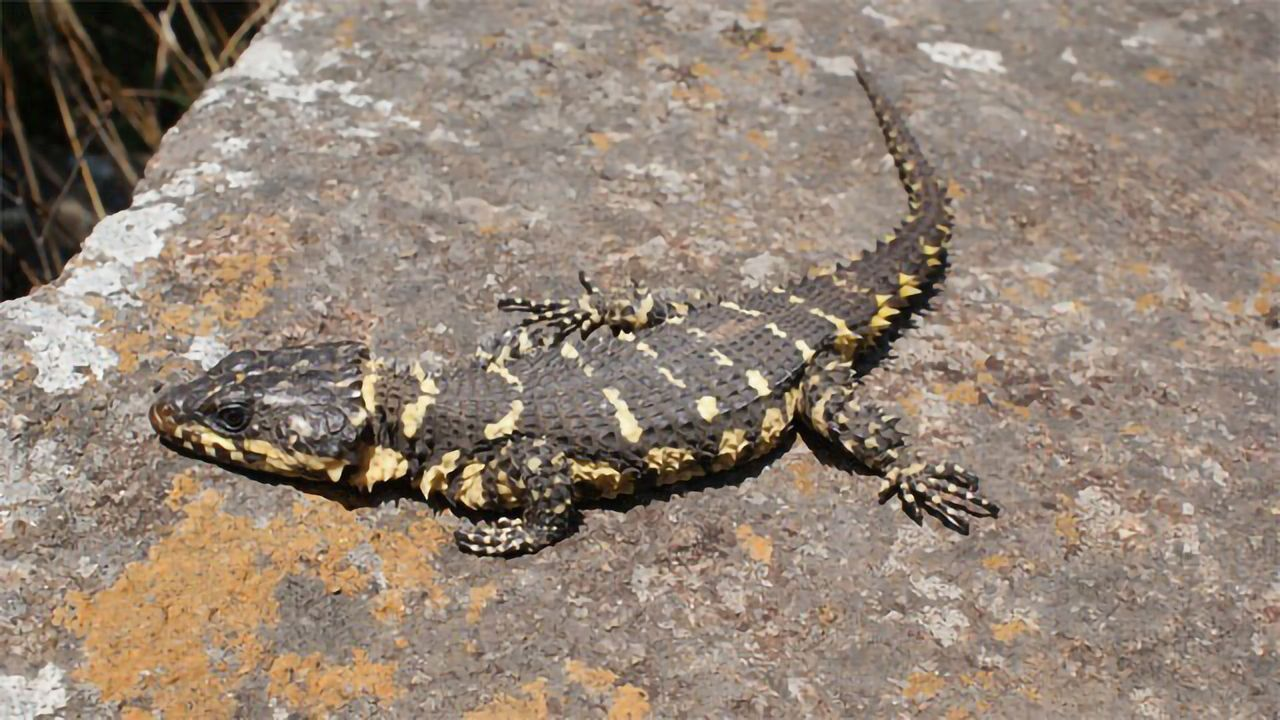 New Species in Smaug Lizard Group