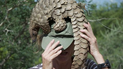 Are Pangolins the Missing Link?