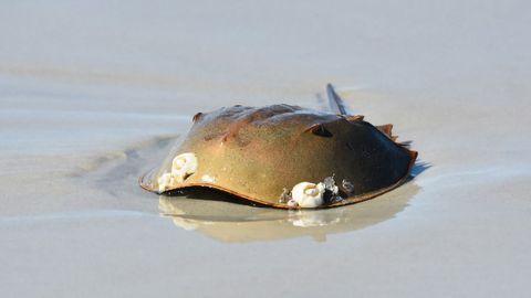 Sustainable Horseshoe Crab Aquaculture Could Benefit Human Diagnostics