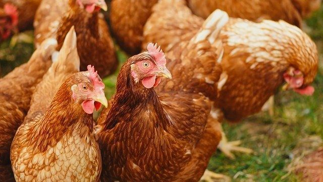 Ammonia Emissions From Livestock and Poultry Farming an Environmental Headache