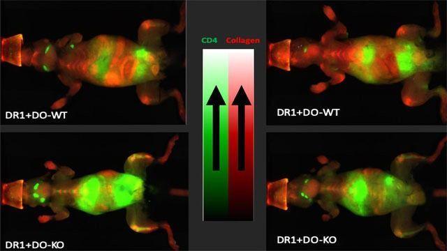 Autoimmune Protection Thanks to Chaperone Protein