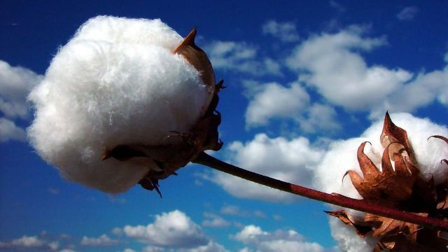 Tying Up Loose Threads in Cotton Genomics