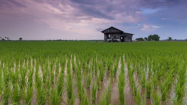 Cable Bacteria Offer a Greener Way To Grow Rice