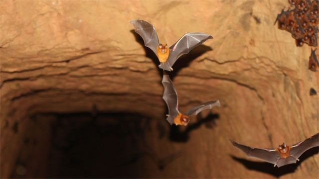 New Species of Leaf-Nosed Bats is Cousin of Horseshoe Bats