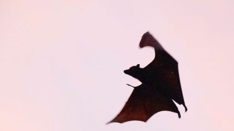 Coronaviruses and Bats Have Been Evolving Together for Millions of Years