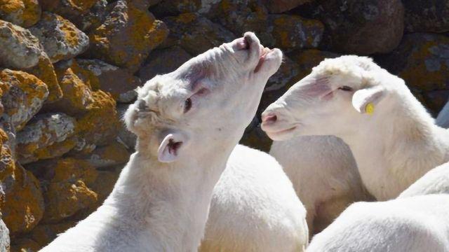 Virus Genome Sheds Light on Re-emergence of Livestock Diseases
