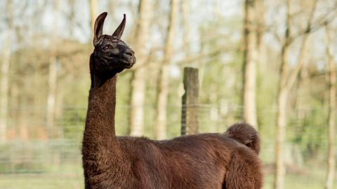 Llama Antibodies Could Help Fight Against COVID-19