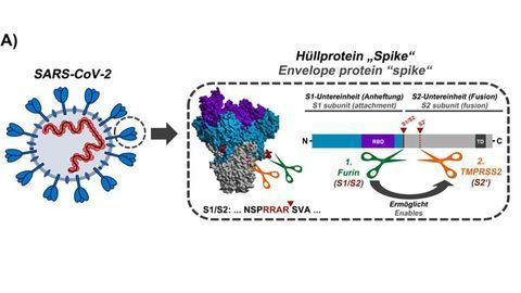 Activation Sequence of the SARS-CoV-2 Spike Protein Unveiled