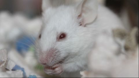 Mouse Study Links Maternal Immune Response To Newborn Behavioral Deficits