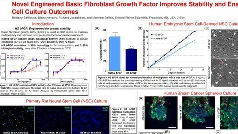 Novel Engineered Basic Fibroblast Growth Factor Improves Stability and Enables Improved Cell Culture Outcomes