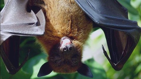 """Super Immunity"" of Bats May Explain How They Carry Coronavirus"