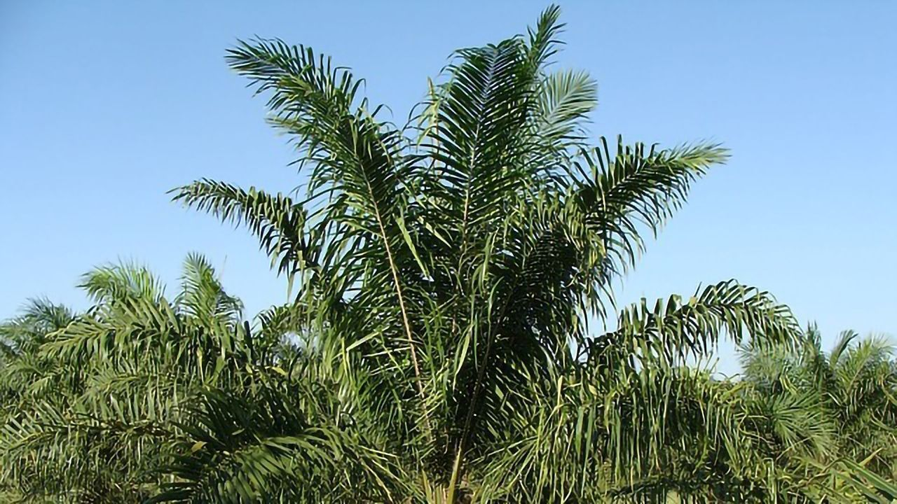 Can Palm Oil Ever Be Sustainable?