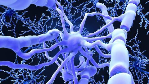 Adult Human Glial Cells Can Repair the Brain (But Only the Mouse Brain)