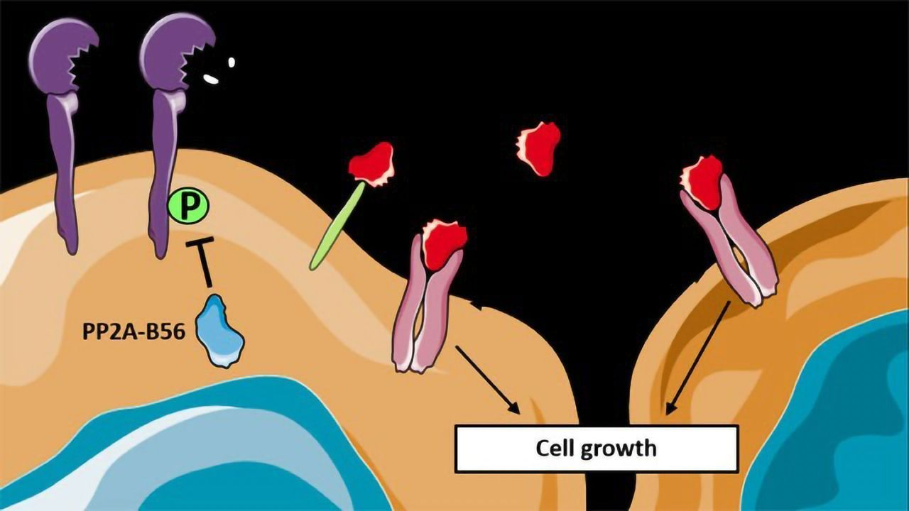 How a Protein Can Inhibit Cancer Development in Mice