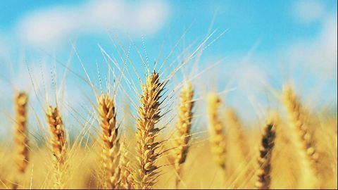 Insufficient Sulfur in Soil Key to Dips in Wheat Quality