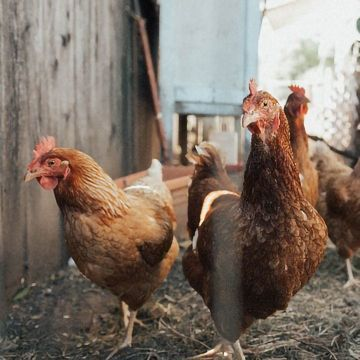 Antibodies Can Be Made Rapidly in Chicken Cells