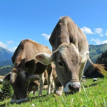Methane Production From Cattle Reduced by Controlling Their Microbiome