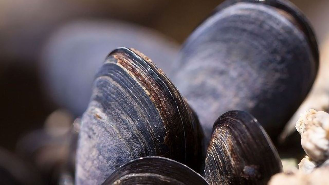Mussels Found To Contain Novel Bioaccumulative Chemical